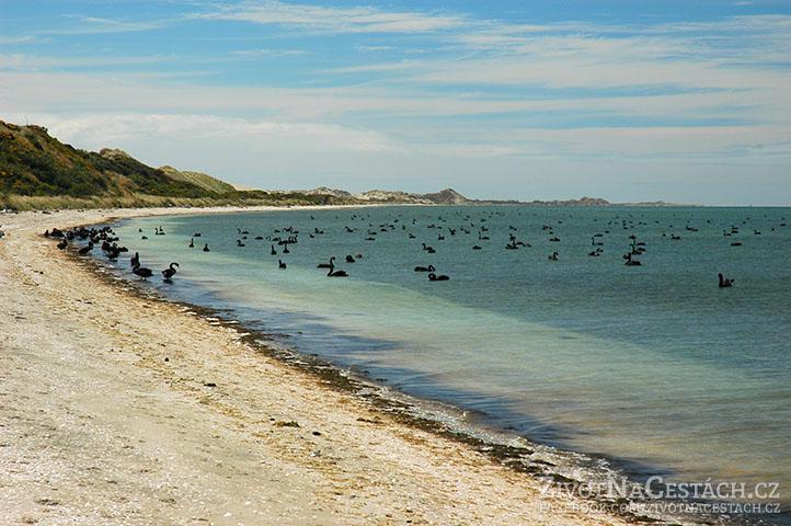 Stovky černých labutí na Farewell Spit, Jižní Ostrov, Nový Zéland