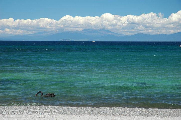 Černé labutě na jezeře Taupo. V pozadí scenérii nádherně dokresluje národní park Tongariro