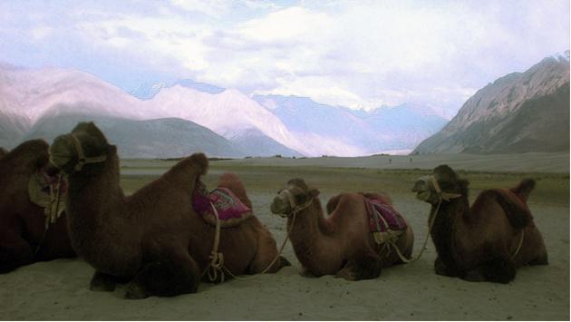 Velbloudi v údolí Nubra