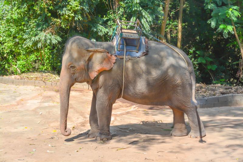 Železná ohrada na hřbetu jedné ze slonic. WangPo Elephant Camp, Kanchanaburi.