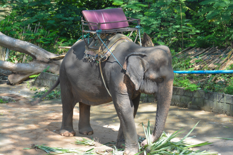 Jedna ze slonic, vyčkávající na příchod svých nových pasážerů. WangPo Elephant Camp, Kanchanaburi