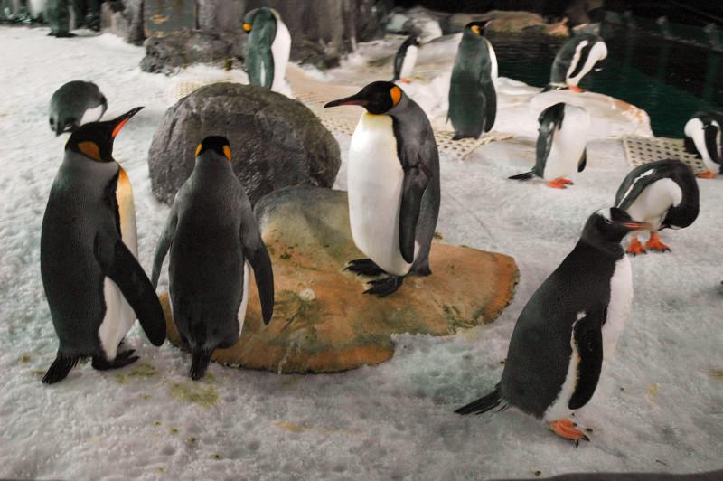 Tučnáci - podmořský svět Kelly Tarlton's SEA LIFE Aquarium, Auckland, Nový Zéland