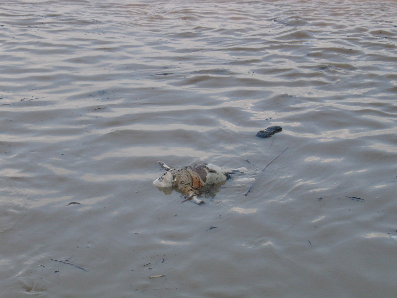 Mrtvé tělo v Ganze.