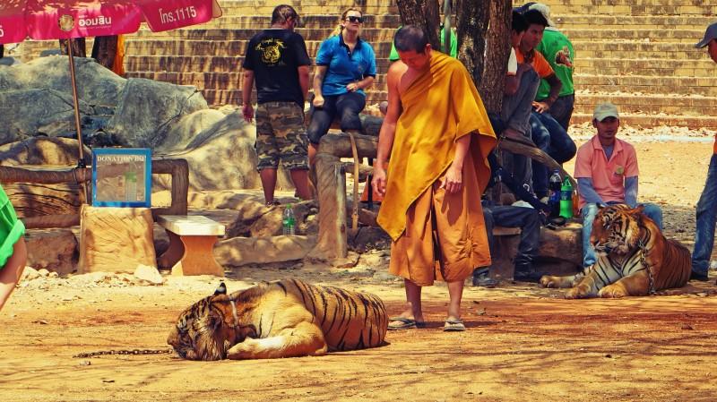 Mnich stojící u ležícího tygra.