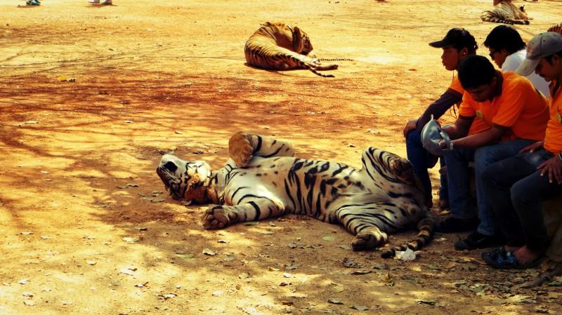 Tygr ležící na zemi.