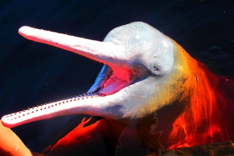 Růžoví říční delfíni - nejoblíbenější zvířata V. A. Slámy