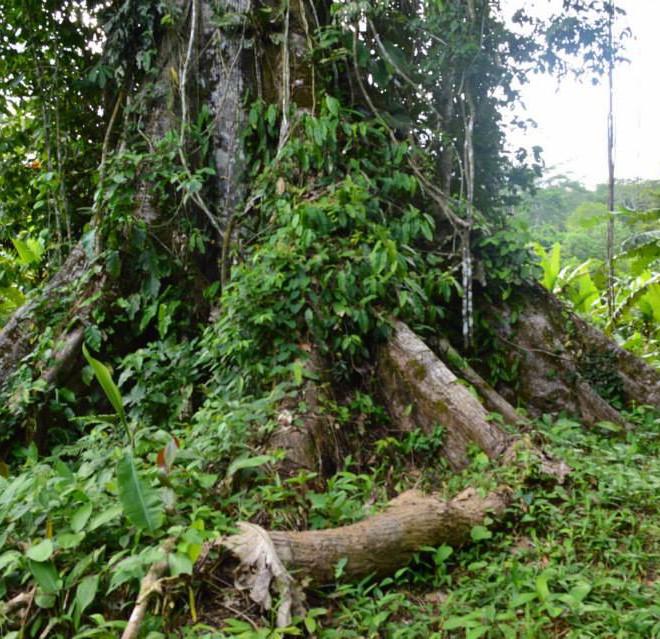 kmen stromu Lupuna