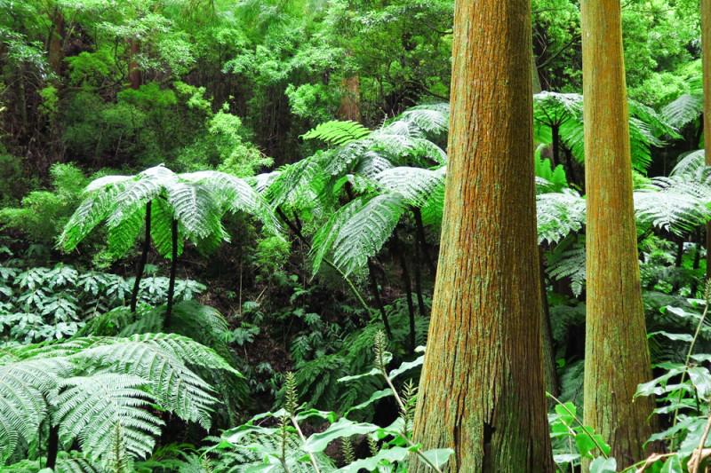 Lesy na Azorech jsou krásně zelené a husté.