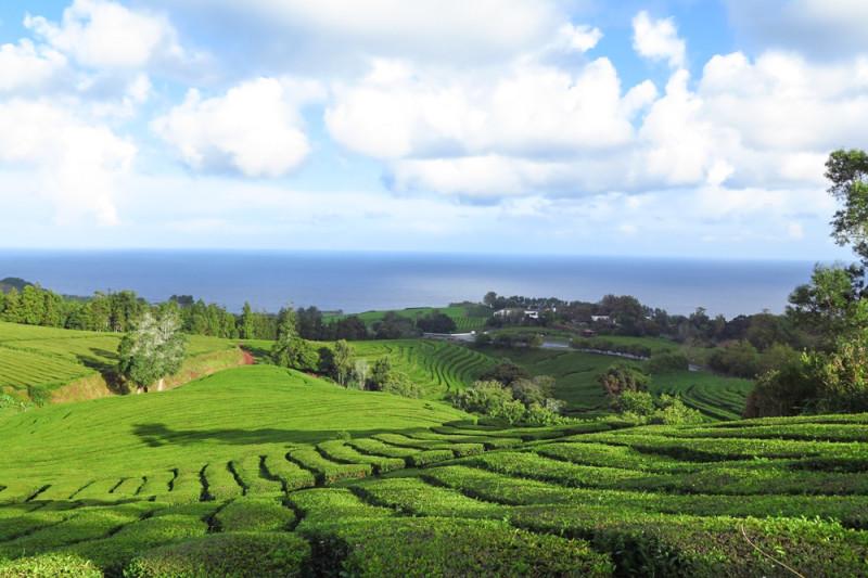 Gorreana Tea Faktory na severní břehu s jedinými plantážemi evropy.