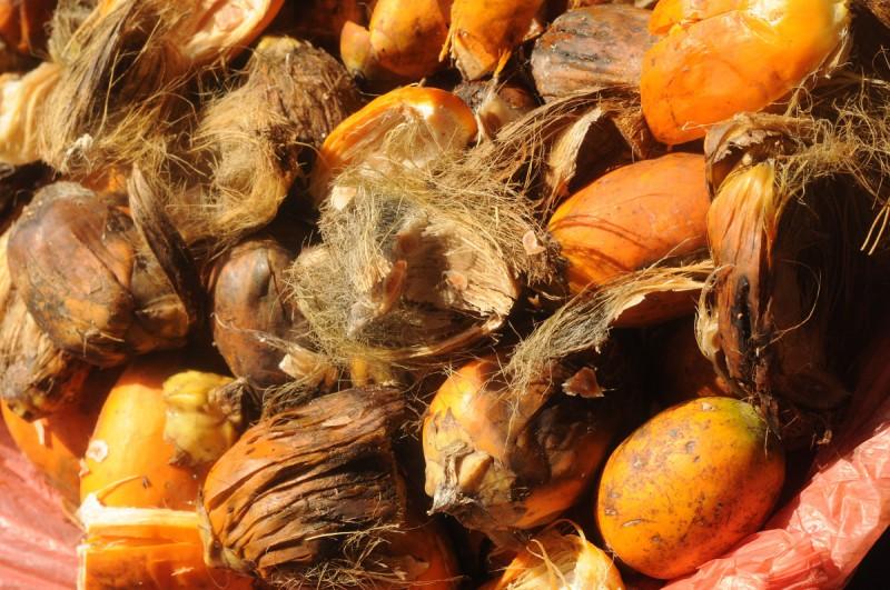 Plod arekové palmy