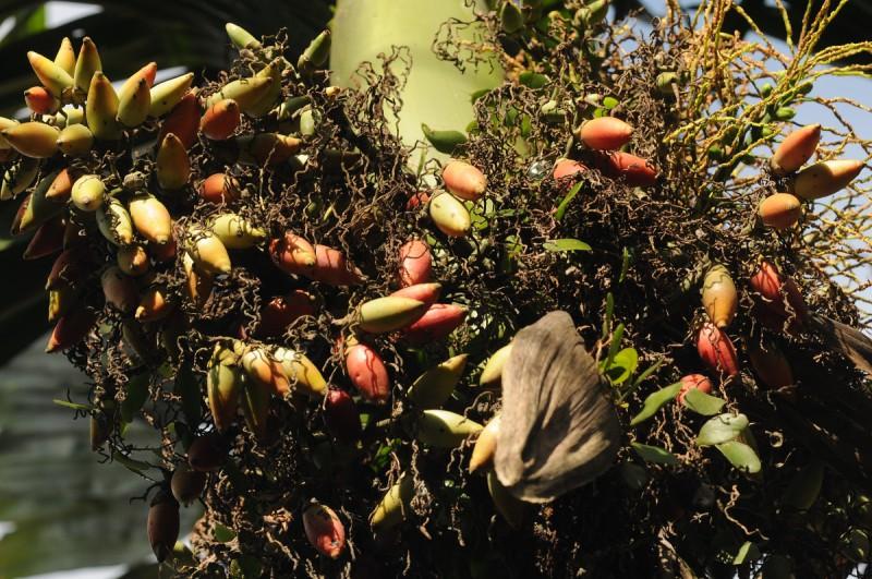 Plody arekové palmy před sklizní