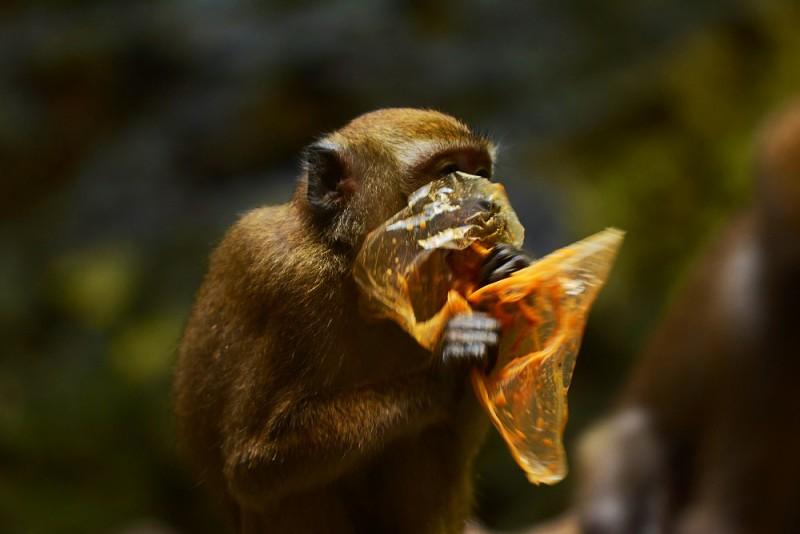 Batu Caves - makak v roli dojížděče zbytků, Kuala Lumpur, Malajsie