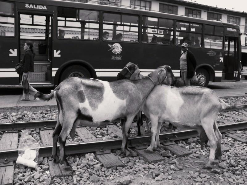 Dvě kozy stojící na kolejích před nádražím ve městě Ibarra v Ekvádoru.