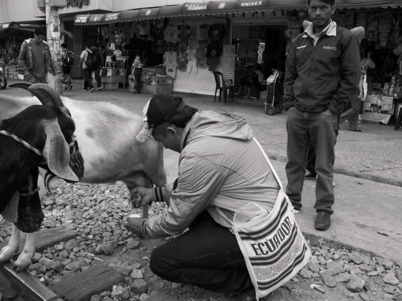 Carlos dojí kozí mléko pro jednoho ze svých zákazníků. Ibarra, Ekvádor.
