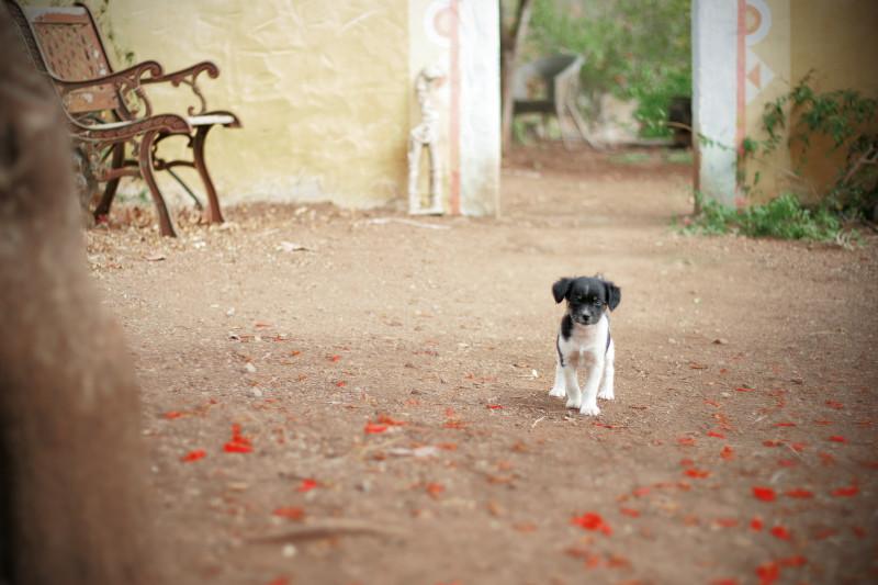 Štěně na farmě na ostrově La Palma na Kanárských ostrovech.