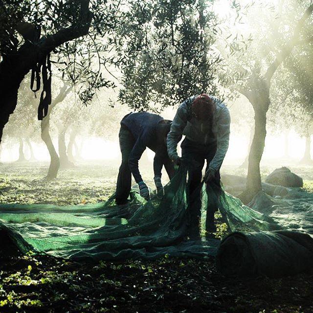 Dobrovolníci pokládají sítě pod olivovníky v průběhu prosince. Altamura, Puglia.