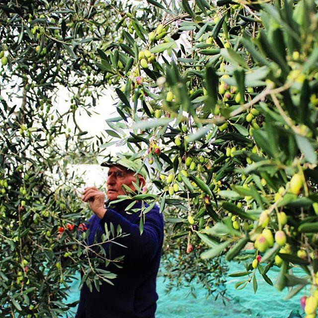 Marcantonio Creanza sbírá ručně olivy k výrobě jejich rodinného olivového oleje. I když v mnoha místech převzaly práci automatizované stroje, Creanzové stále pracují na svých sedmi sadech tradičním způsobem. Používají pouze malé ruční hrábě nebo větší pneumatické. A vzniklý olej je vyjímečný.