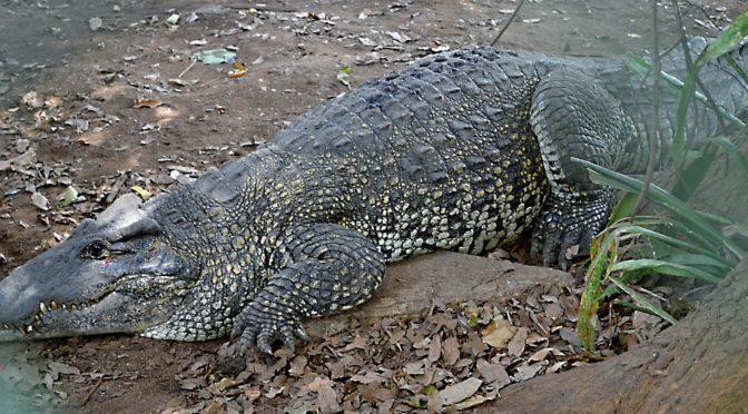 Za krokodýlem kubánským na farmu Criadero de Cocodrilos, Guamá, Kuba