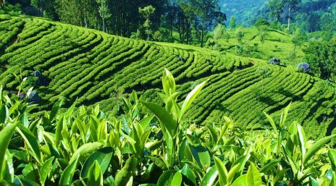 Srí Lanka, země čaje: Nejlepší čajové plantáže Cejlonu