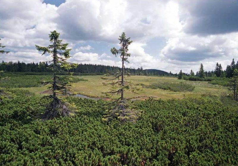 Letní výlety po Krkonoších: Černohorské rašeliniště