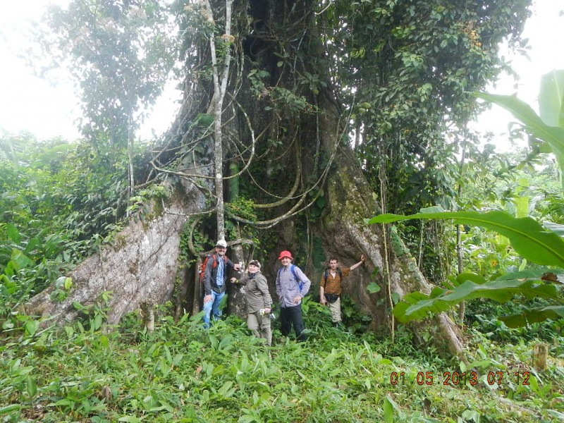 1000 let starý strom. Amazonie, Peru