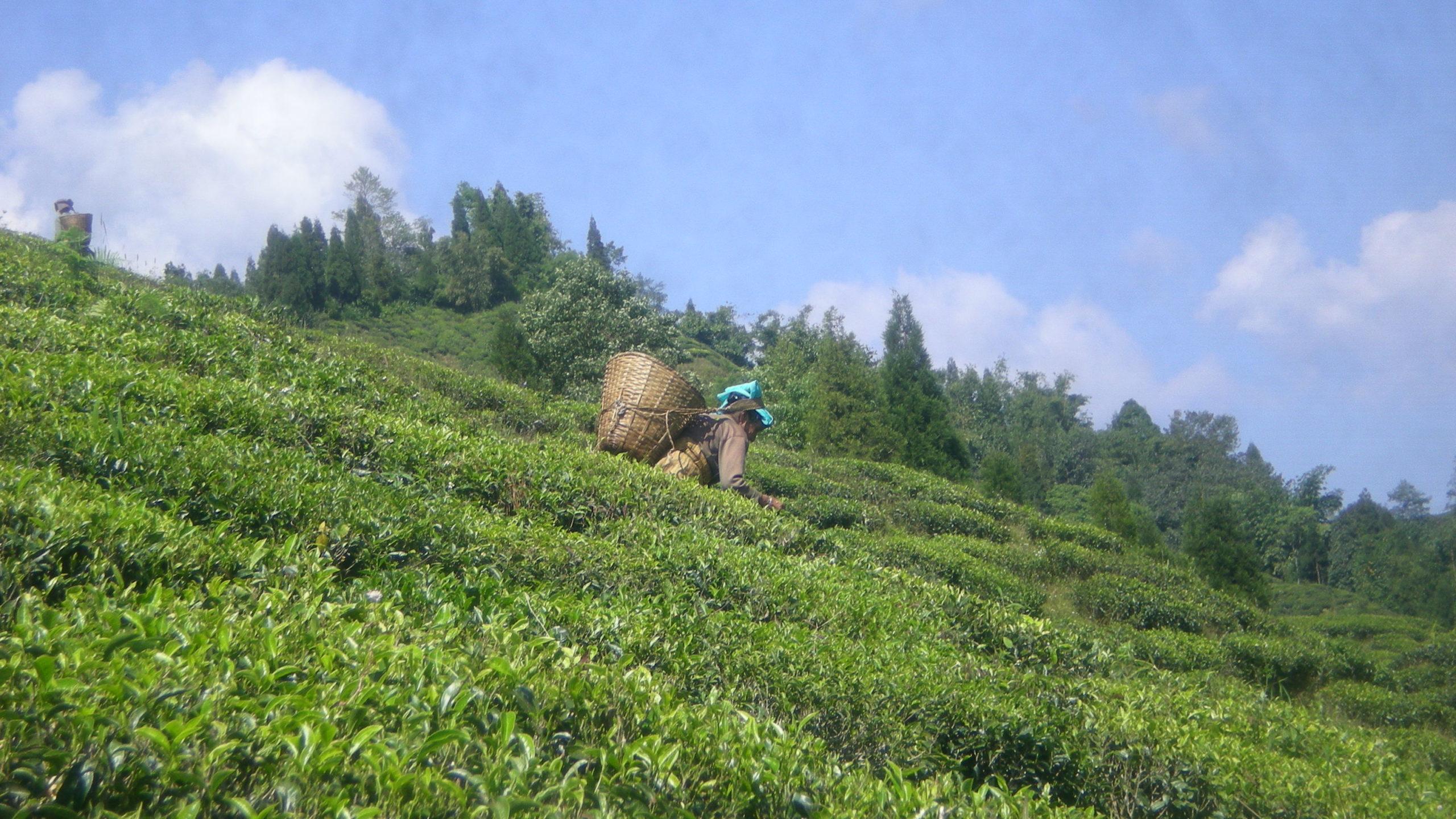 Trhačky na čajových plantážích