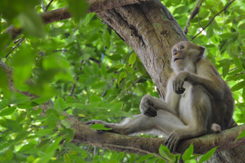 Odpočívající opice v korunách stromů. Národní park Erawan, provincie Kanchanaburi, Thajsko.