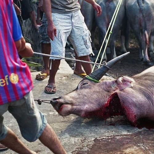 obětování buvolů
