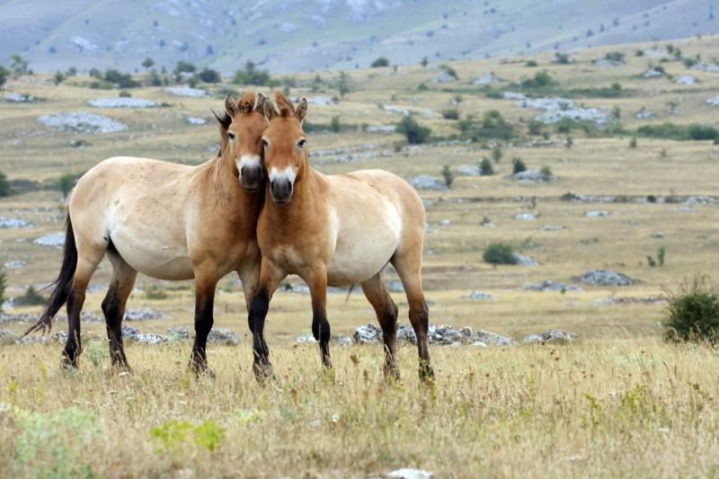 Mongolské stepi jsou domovem kriticky ohroženého koně Převalského