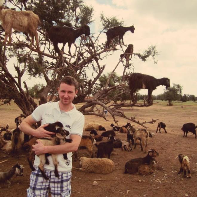 Pasoucí se kozy na stromech.