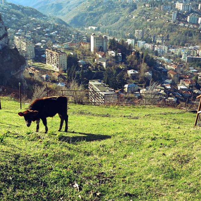 Kráva nad městem.