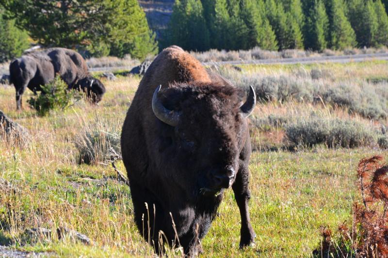 Bizon v Yellowstonském NP