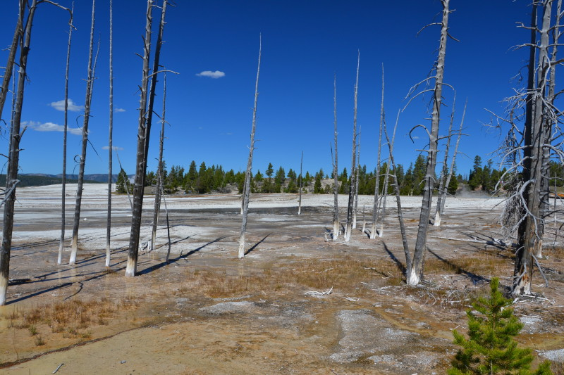 Mrtvé stromy v okolí gejzírů.