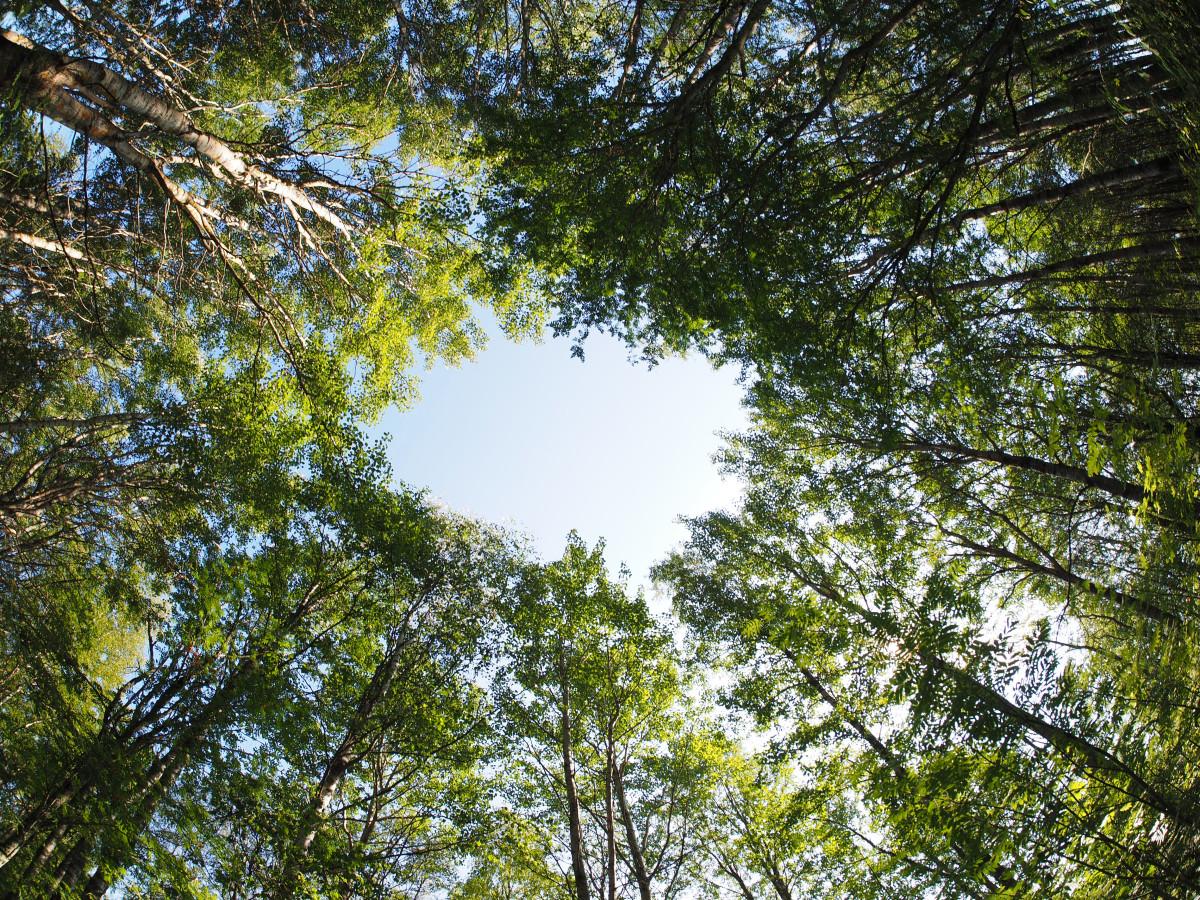 stromy, koruna, les, příroda, svoboda