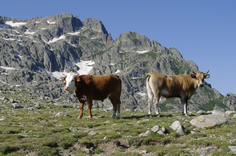 Krávy (vlastně býci) v horách středomořské Korsiky