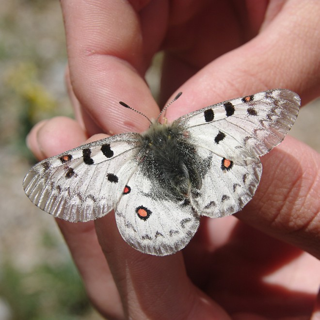 Kyrgyzstán, Ferganský hřeben, motýl, hory