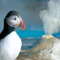Papuchalk (anglicky puffin) je jedním z živých symbolů Islandu. Tito mořští ptáci vypadají jako kříženci