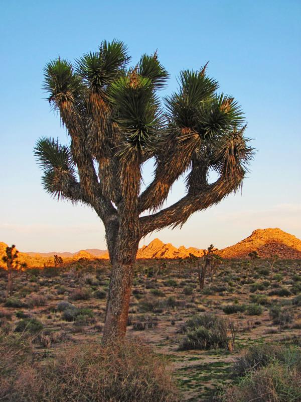 Strom Joshua Tree fascinoval členy rockové skupiny U2 natolik, že podle něj pojmenovali své album