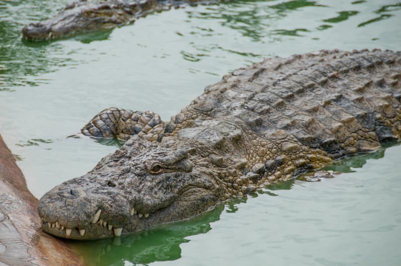 Na krokodýlí farmě už je po jídle a panuje zde naprostá pohodička. Těžko si ale představit, co by se stalo, kdyby člověk překročil plot a vstoupil do zakázané zóny... Pro letošní sezónu připravuje krokodýlí farma zbrusu nový pavilon, přibydou také další nová zvířata...