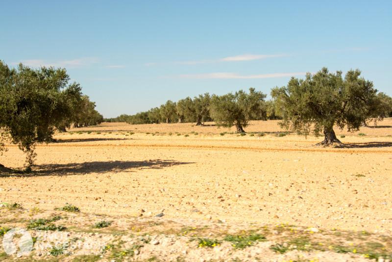 Fotoreport z cesty napříč Tuniskem – Olivové plantáže kolem dálnice.
