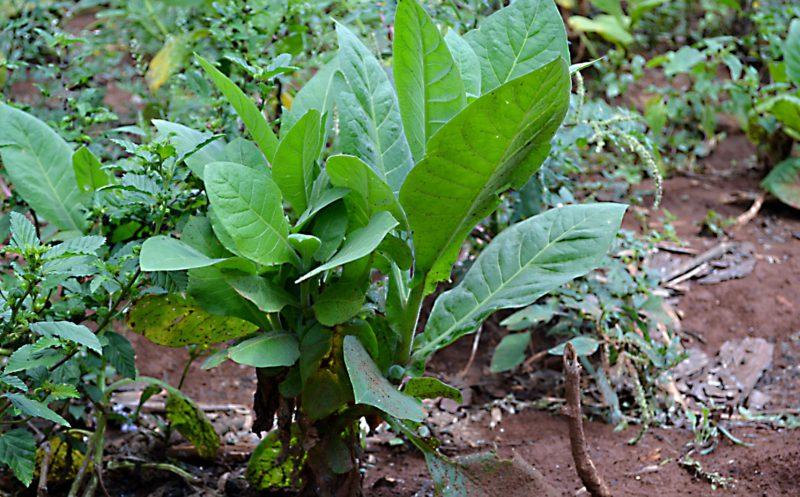 Pravý kubánský tabák