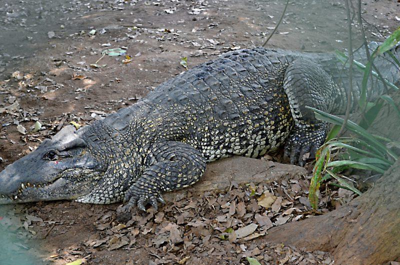 Líný krokodýl