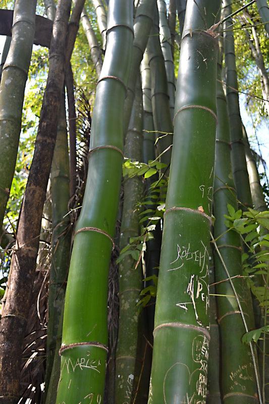 Bambusový porost