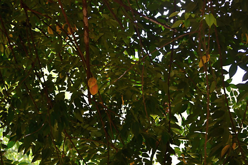Hvězdicový plod - karambola
