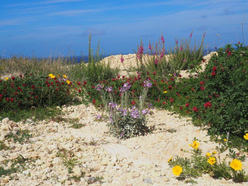 V březnu bylo Gozo plné květin.
