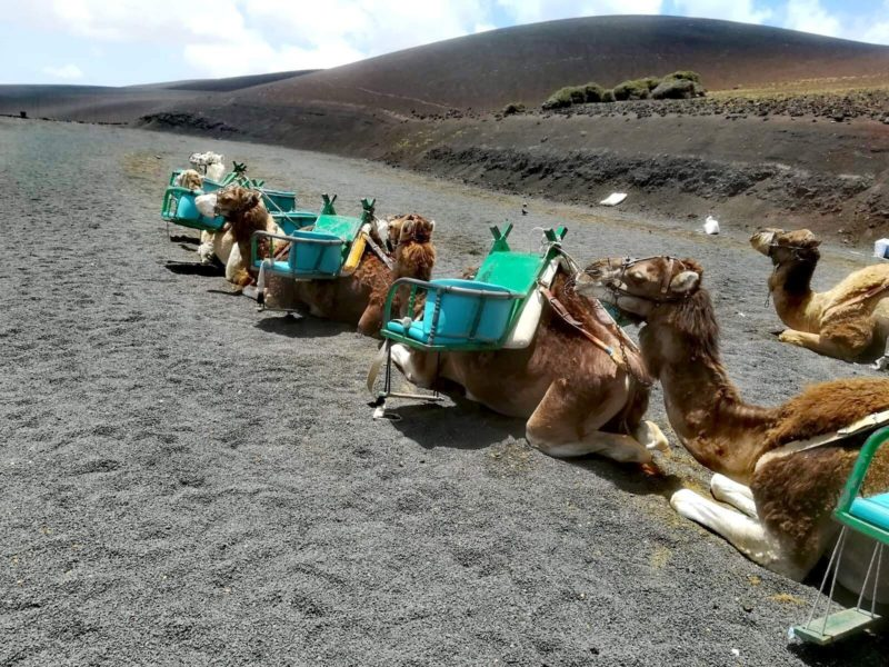 Velbloudi na Lanzarote. Turistická atrakce, kterou klidně můžete vynechat ;-)