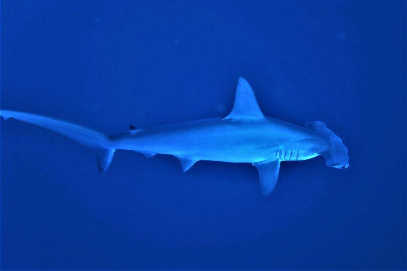 žralok Egypt