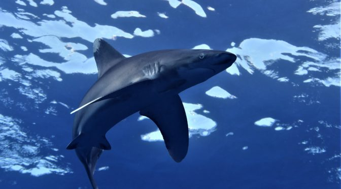 Potápění se žraloky v přírodních parcích v Egyptě