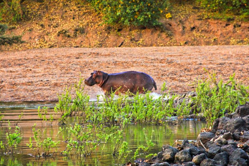 Setkání s hrochem. Je to možná překvapivé, ale tento tvor je označován za nejnebezpečnější zvíře Afriky.