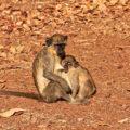 Opičí obyvatelé parku Niokolo Koba